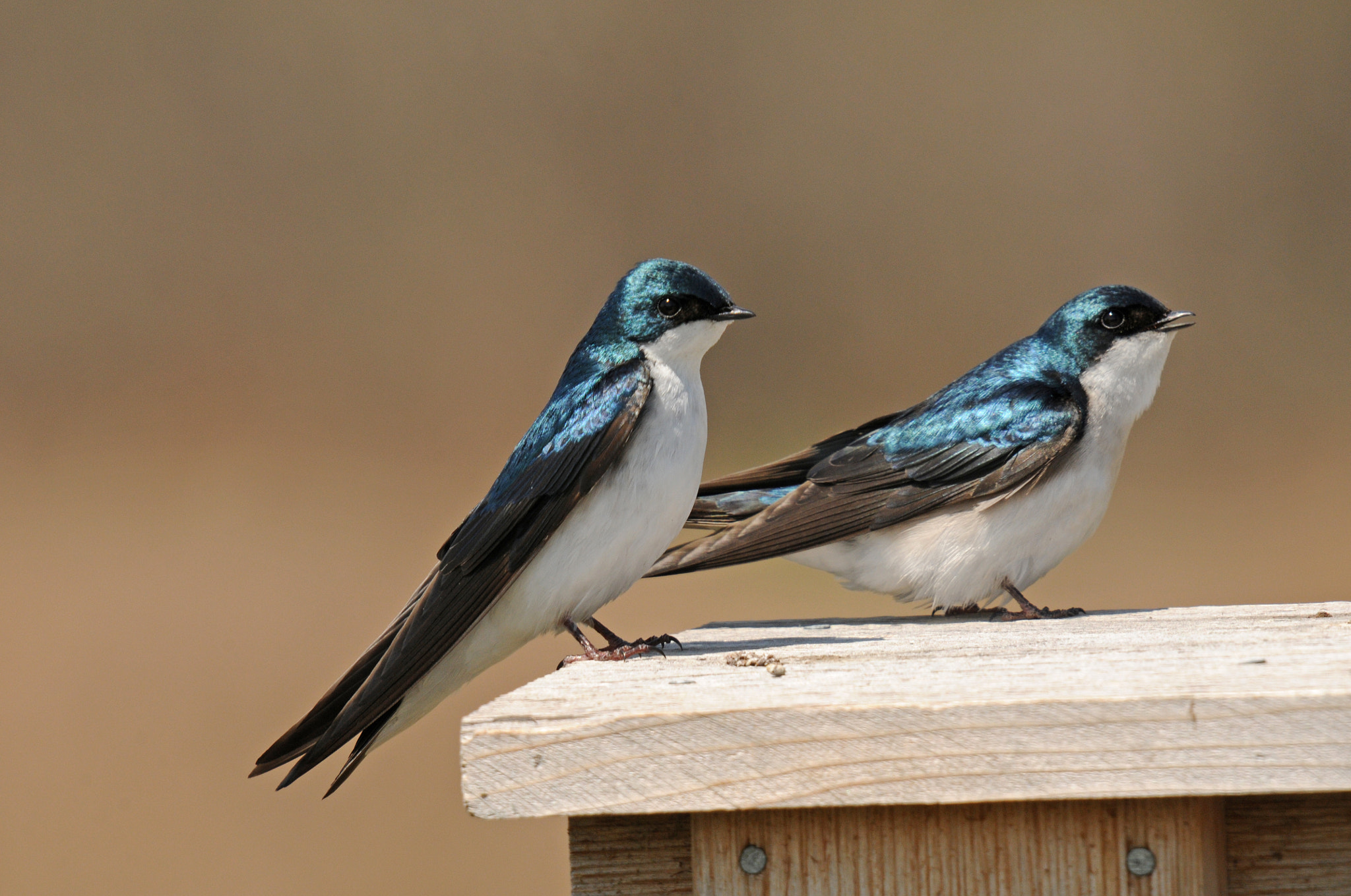 Photograph Tree Swallows by Mark Kantner on 500px