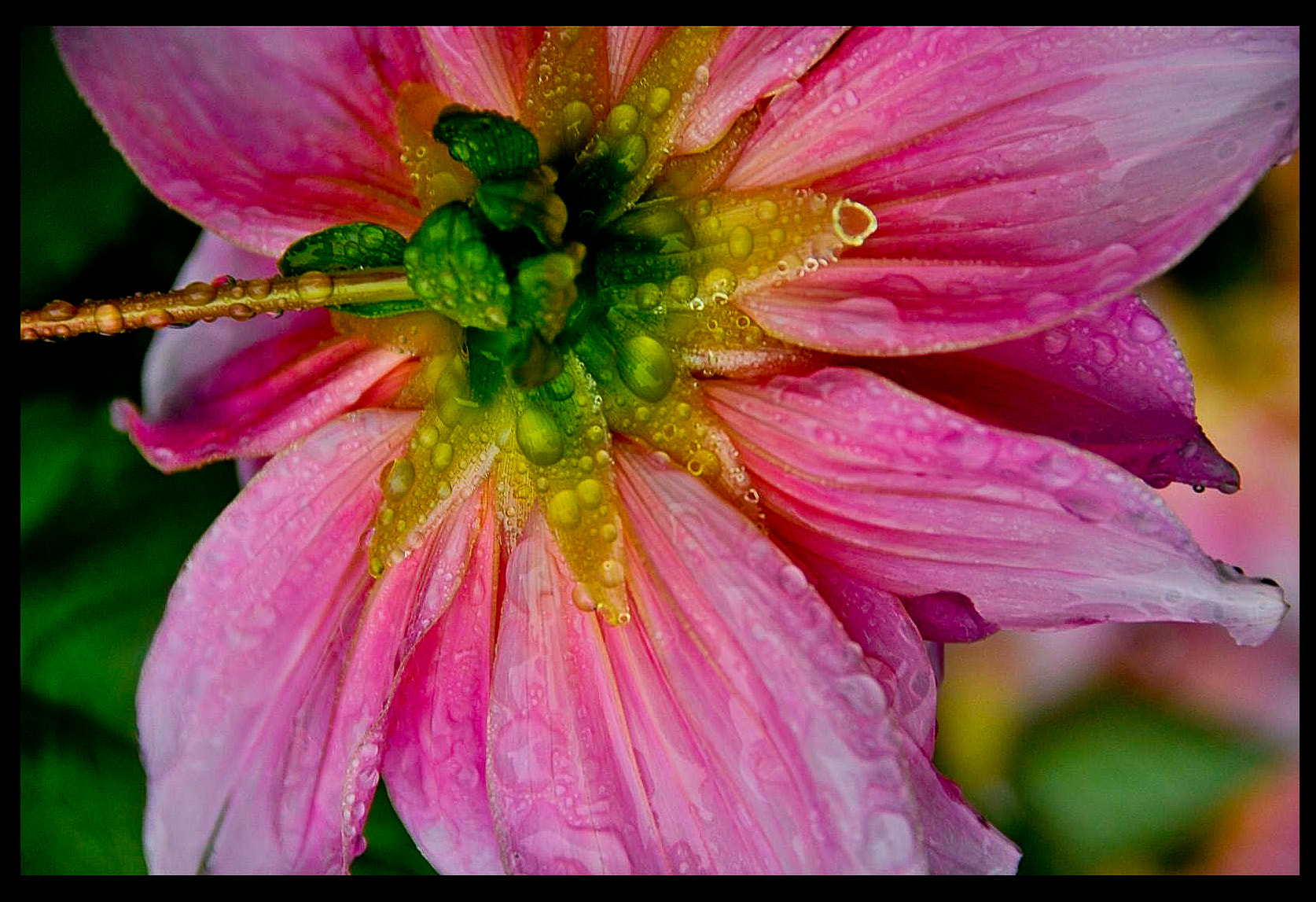 Photograph Pink flower in the rain by Gloria Matyszyk on 500px
