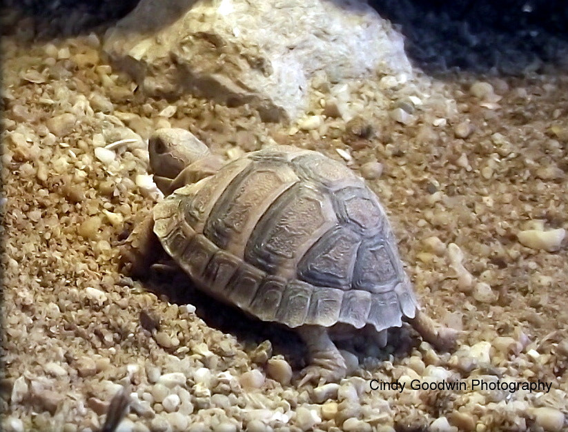 Photograph Baby Tortoise by Cindy Goodwin on 500px