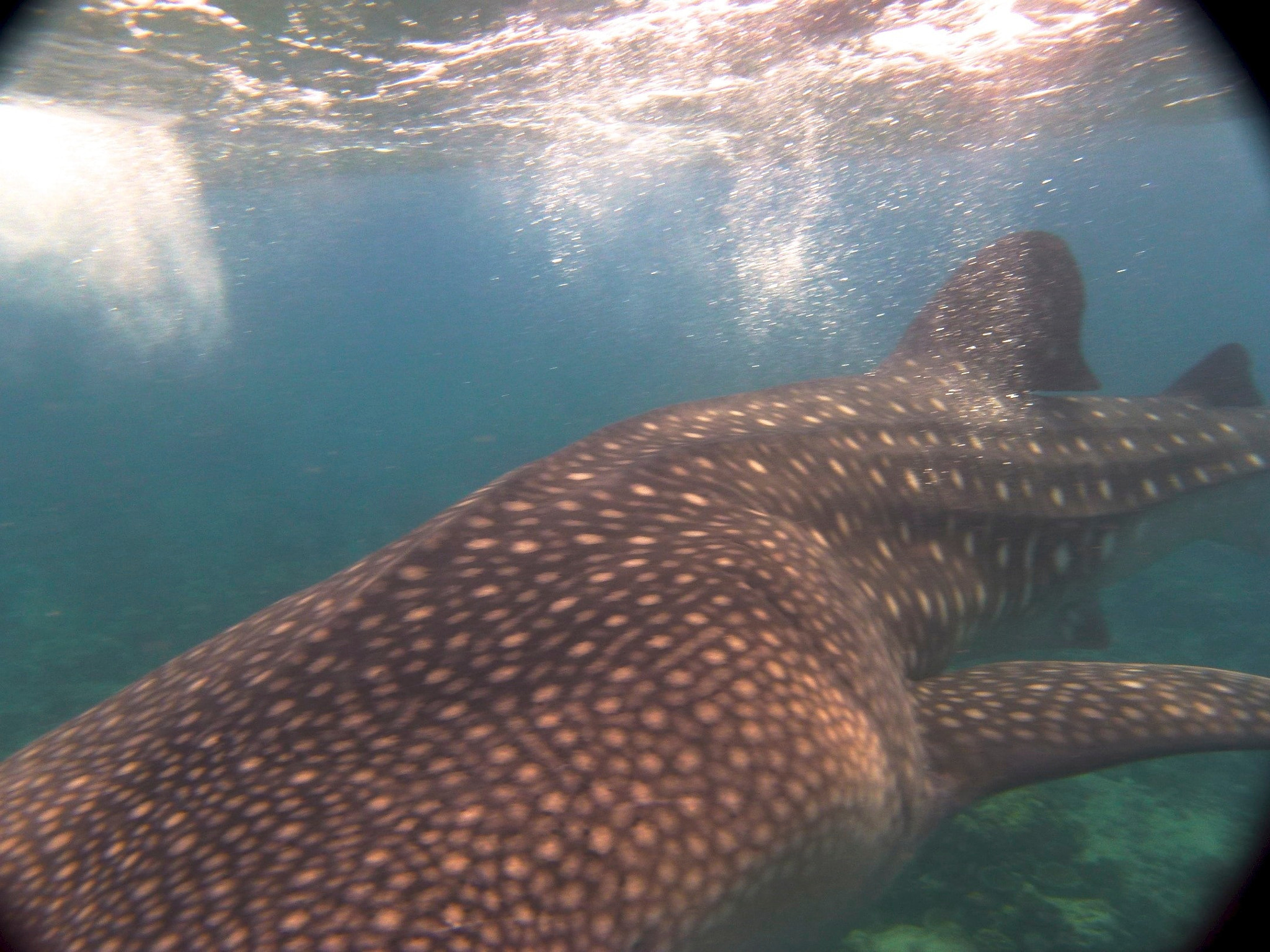 Photograph Whale shark goes right under me by Michelle  on 500px