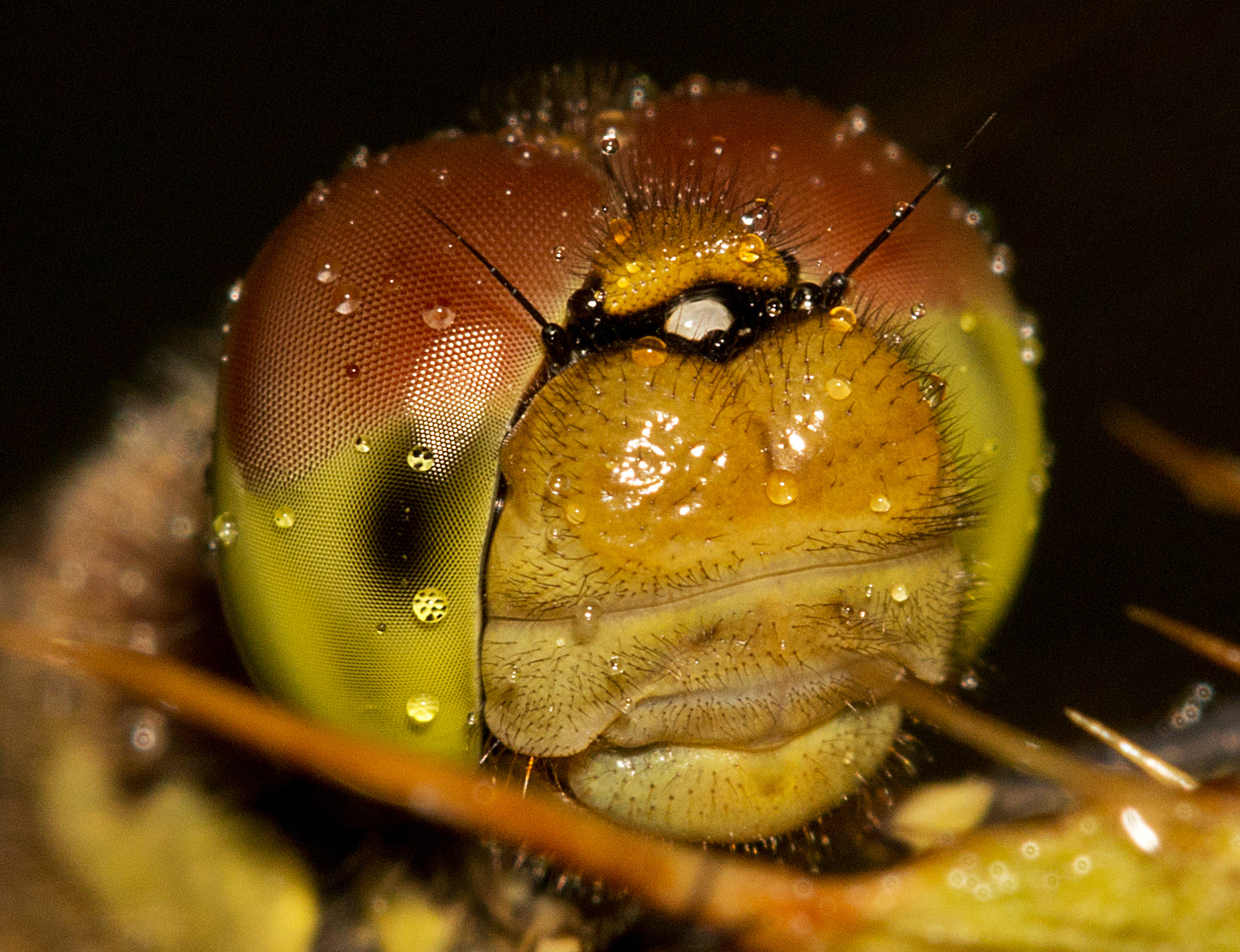 Photograph Common Darter Dragonfly Closeup by Mike Smith on 500px