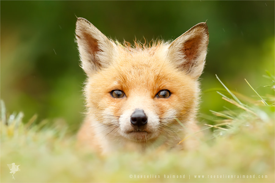 Bad Fur Day - Young Fox Cub by Roeselien Raimond on 500px.com