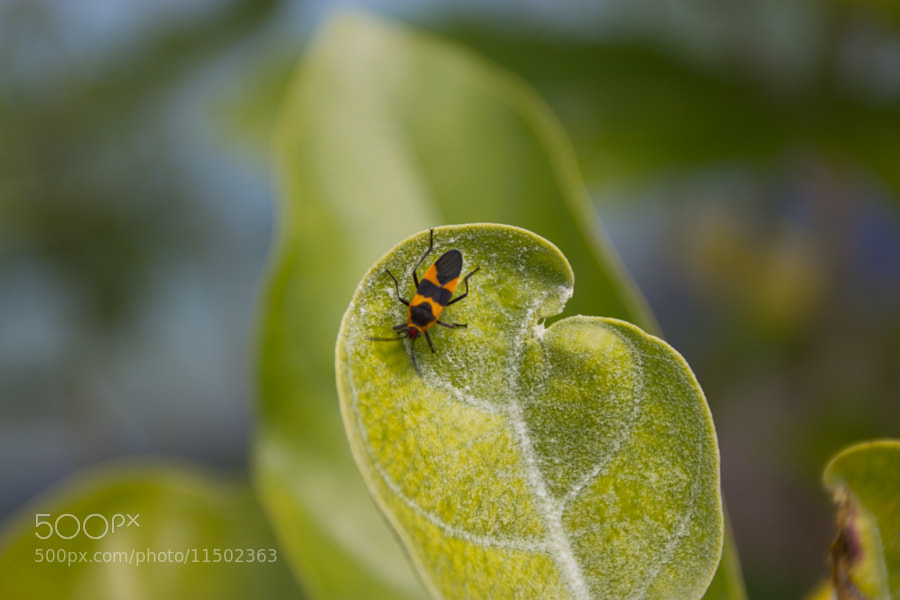 A milkweed bug on a leaf. I was shooting landscapes with my 17-40mm when I came across him. It's interesting how close you can come with a wide angle lens.