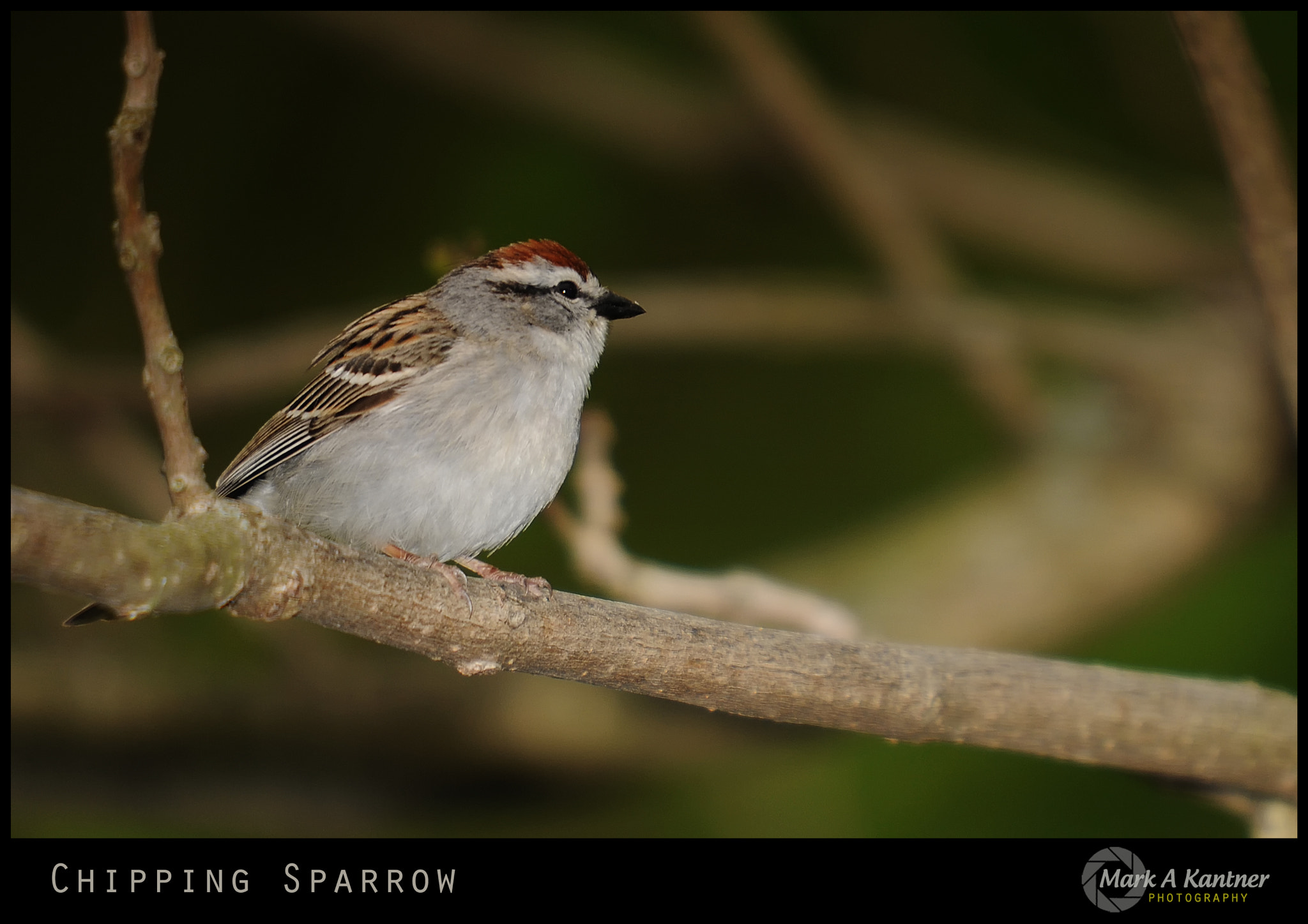 Photograph Chipping Sparrow by Mark Kantner on 500px