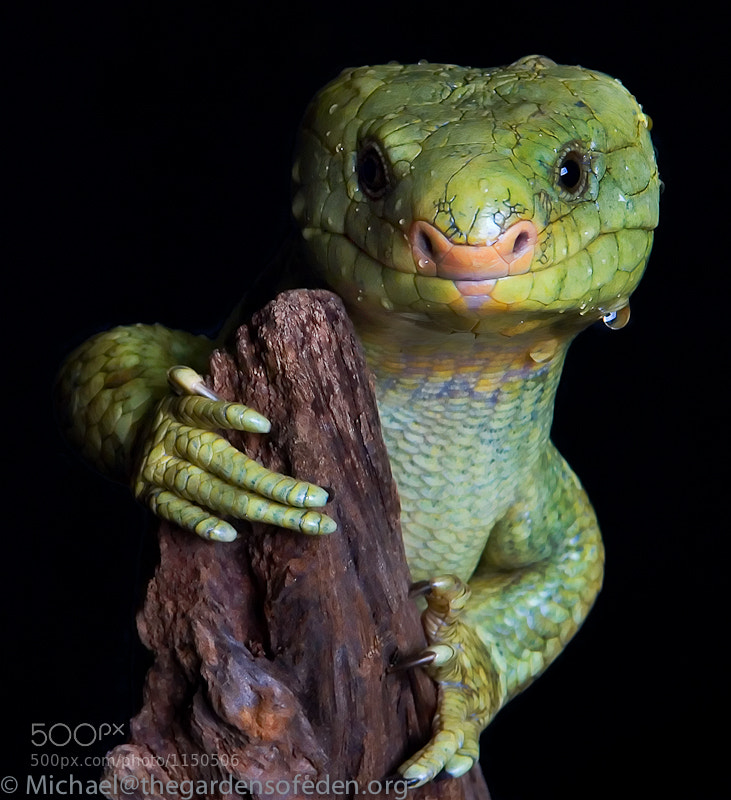 Photograph Corucia zebrata, Soloman Island Monkey Tailed Skink by Michael Kern on 500px