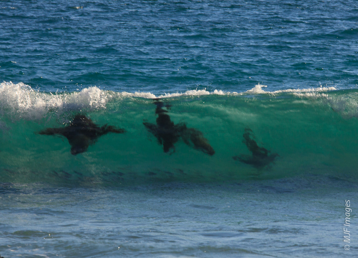 Photograph Surfing seals by Michael Flaherty on 500px