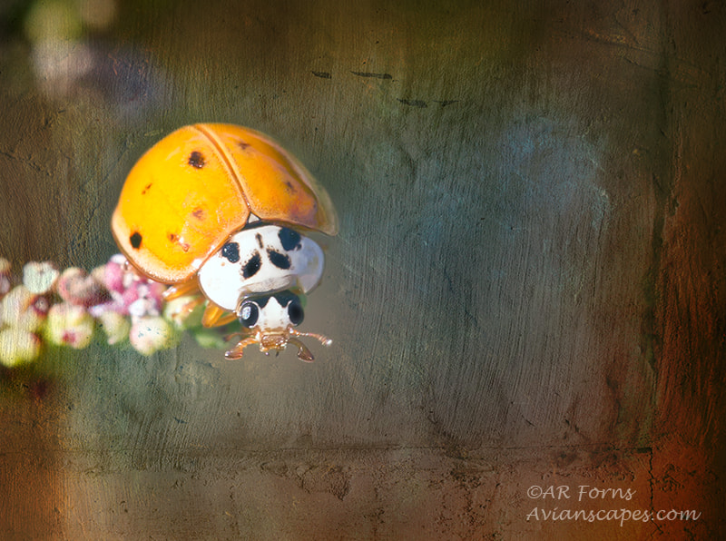 Photograph Lady bug by Alfred Forns on 500px