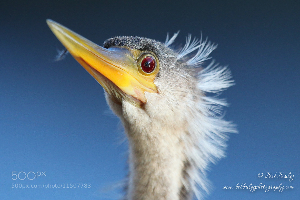 Photograph Anhinga Close Up by Bob Bailey on 500px