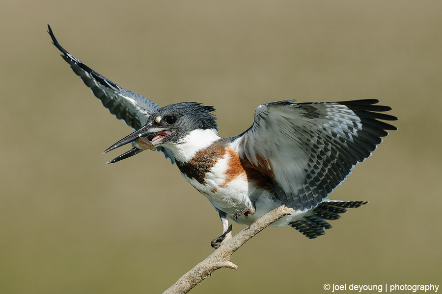 Photograph Belted Kingfisher by Joel DeYoung on 500px