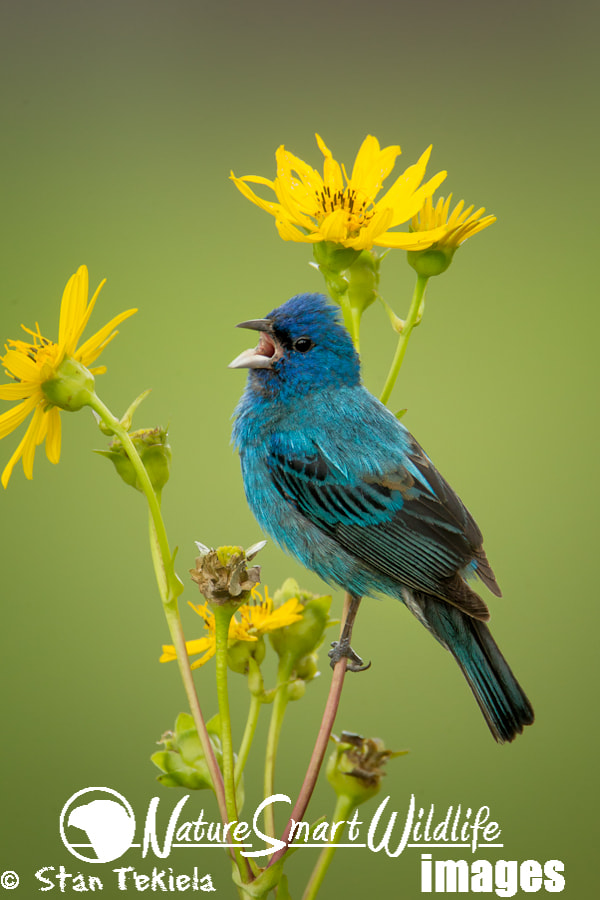 Photograph Indigo Bunting by Stan Tekiela on 500px