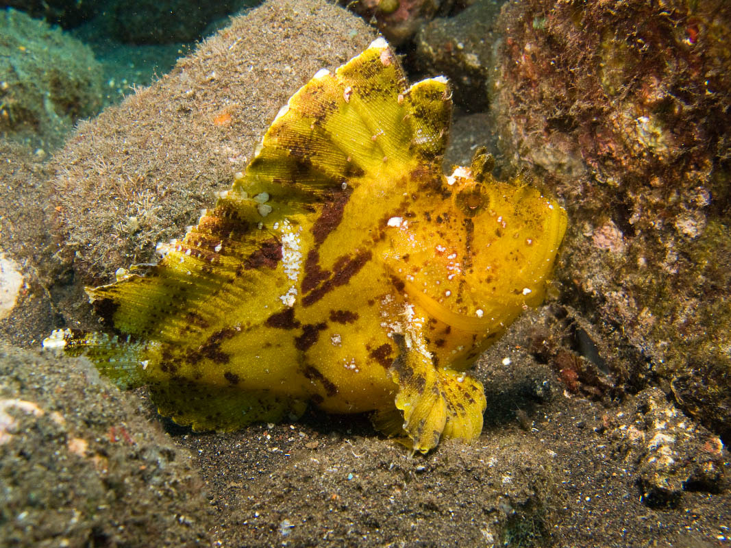 Photograph Frogfish by Rene Knaake on 500px