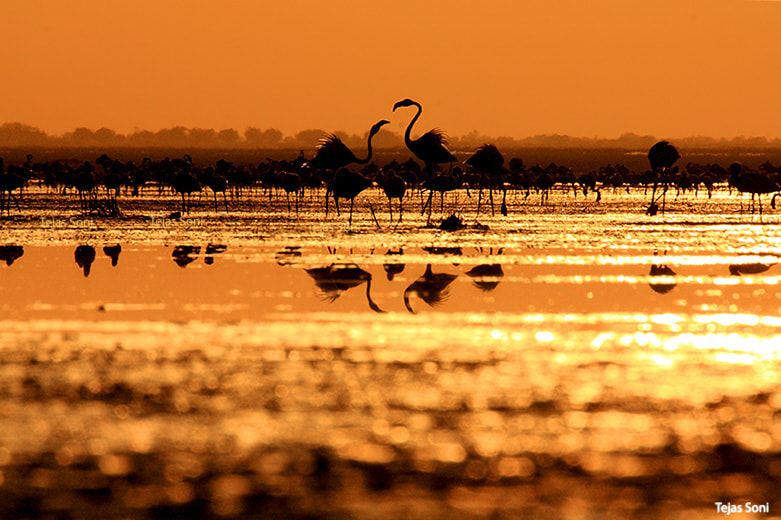 Photograph Greater flamingo  by Tejas Soni on 500px