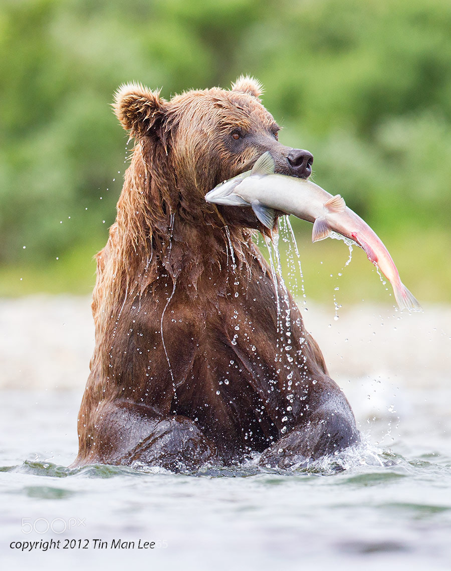 Photograph Bear with Salmon by Tin Man on 500px