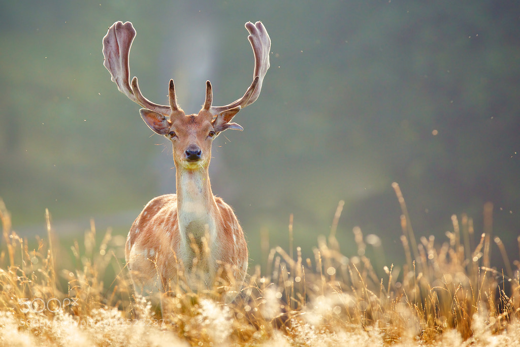 Photograph young buck by Mark Bridger on 500px