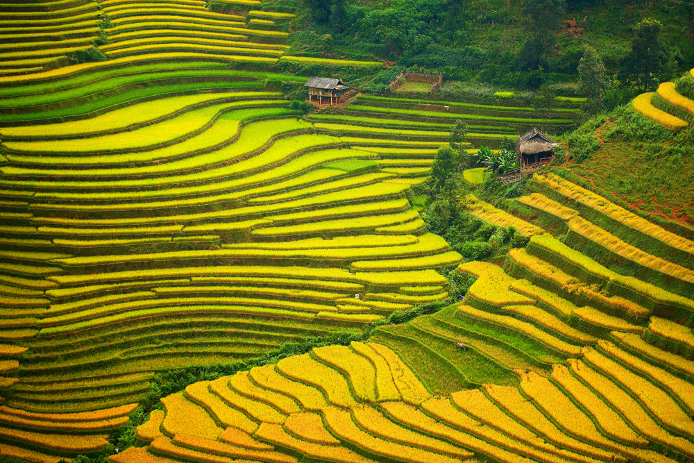 Photograph Golden Harvest by Viet Hung on 500px