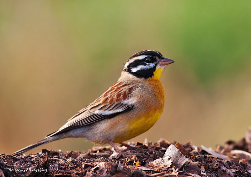 Photograph Golden-breasted Bunting by Desiré Darling on 500px