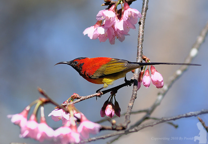 Photograph Mrs Gould's Sunbird by Poo Pix on 500px