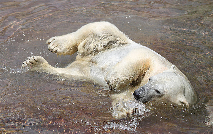 Photograph Weltering ice bear by Rainer Leiss on 500px