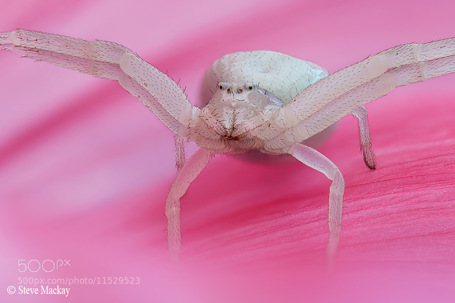 Photograph Crab Spider by Steve Mackay on 500px