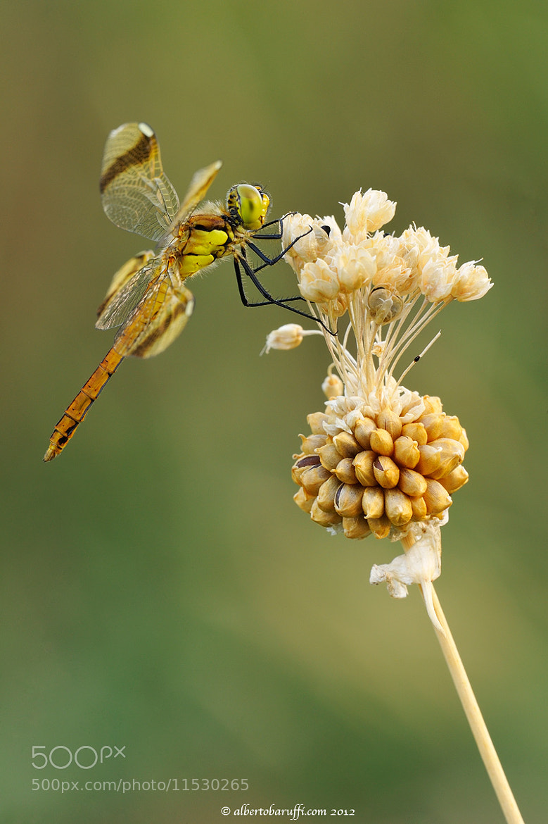 Photograph Sympetrum pedemontanum female by Alberto Baruffi on 500px