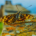 Great Wall Butterfly