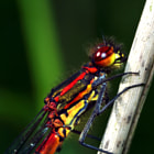A Large Red Damselfly looks like it's on fire. In Dutch the name is actually 'Fire Damselfly'