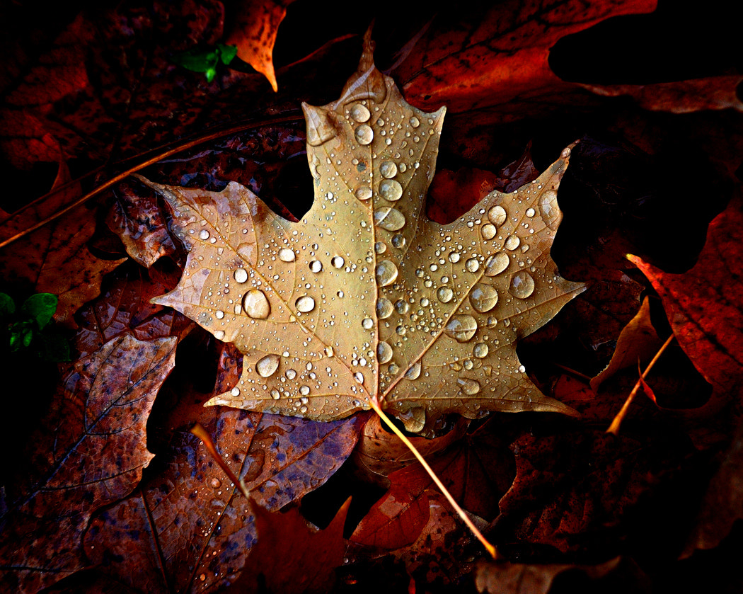 Photograph Maple Leaf by Dana Prost on 500px