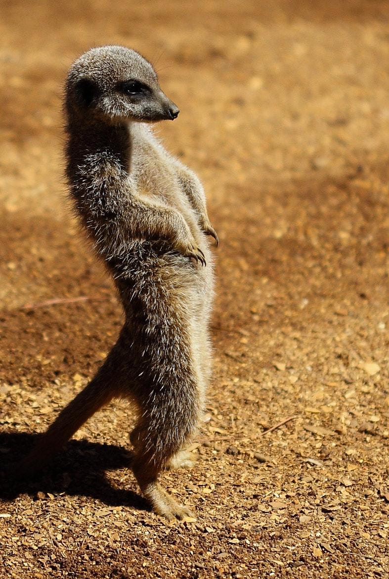Photograph Meerkat by Mike Howe on 500px