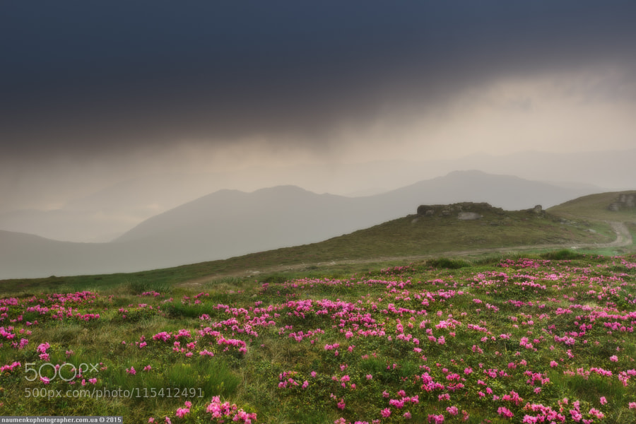 Ukraine. Carpathian Mountains. Rhododendrons on ov by architecturalphotographer
