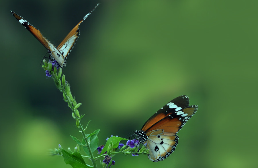 Photograph Two Butterflies by Khoo Boo Chuan on 500px