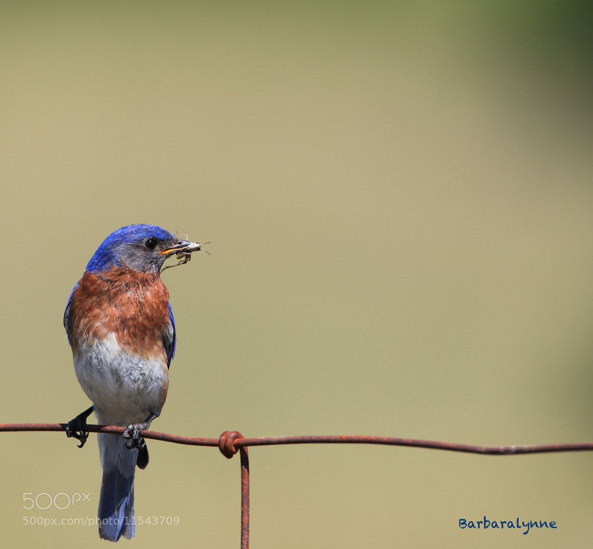 Photograph Male Eastern Bluebird by Barb D'Arpino on 500px