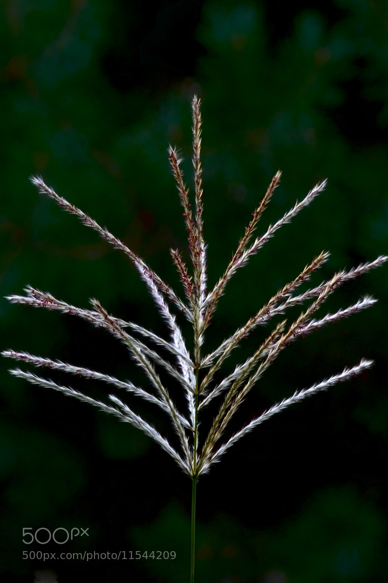Photograph Miscanthus blooming by Игорь Гончаренко on 500px