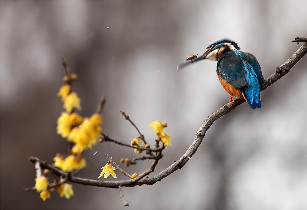 Photograph Kingfishers, bee by dongfeng wu  on 500px