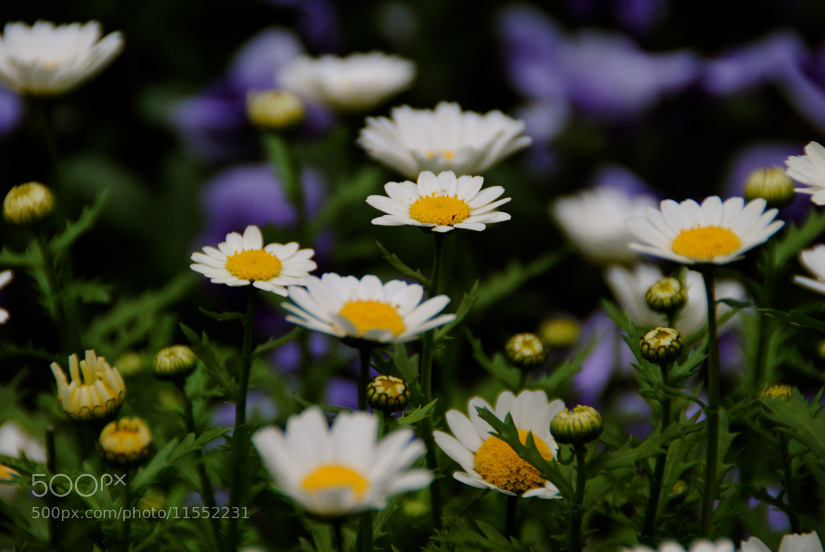 Photograph Daisies by Lori Conklin on 500px