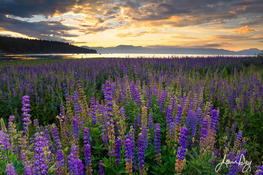 Lakeside Lupine by Jean Day Photography on 500px.com