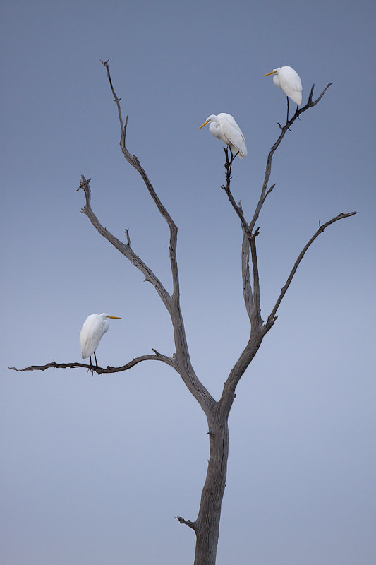 Photograph Three Egrets by David Chauvin on 500px