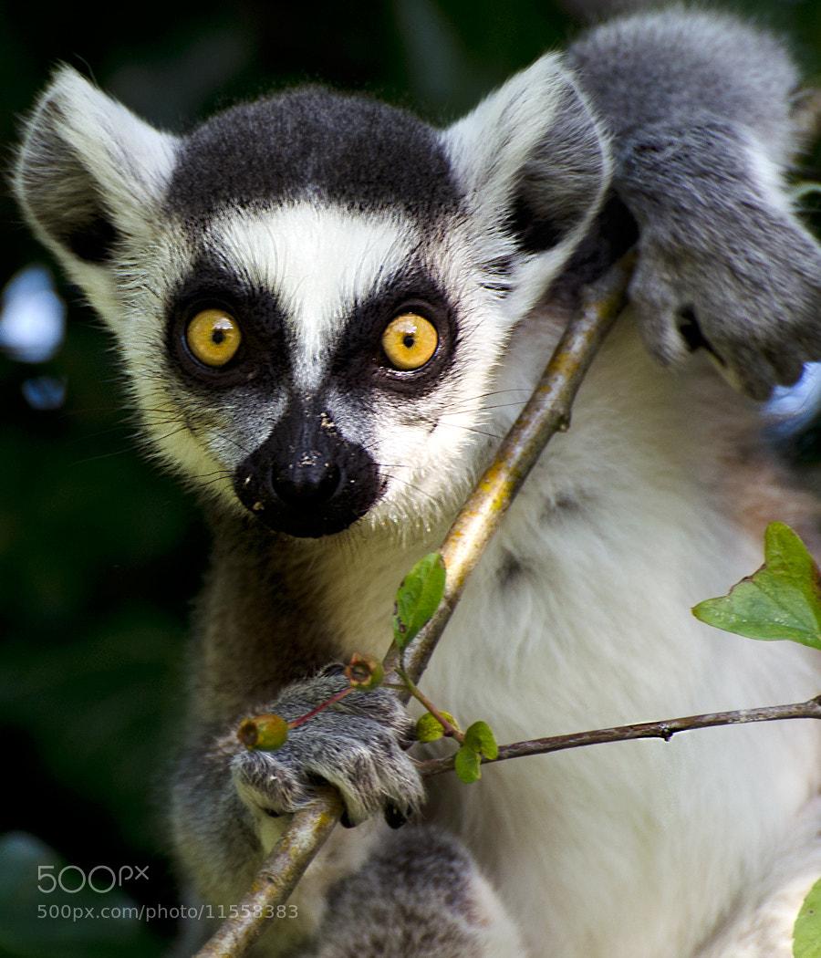 Photograph Lemur portrait by Christina Skov on 500px