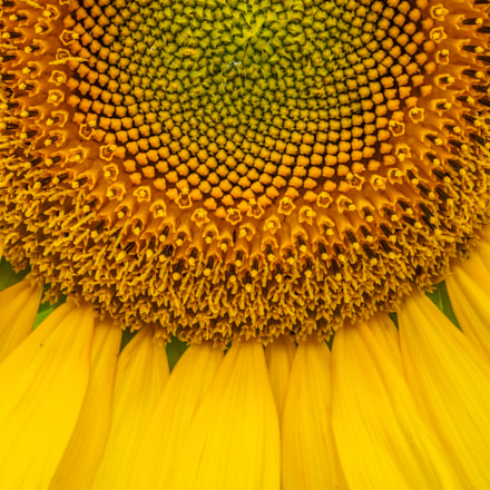 Sun (flower)!