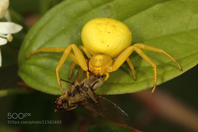 Photograph Crab Spider by Chris Griffin on 500px