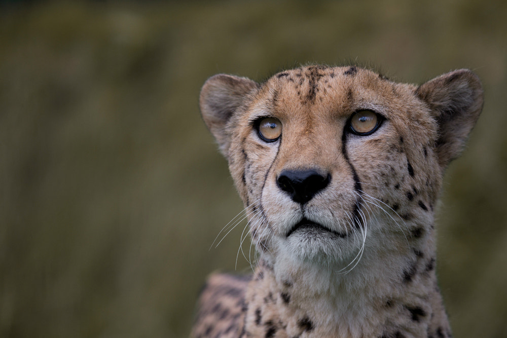 Photograph Cheetah by Billy Currie on 500px