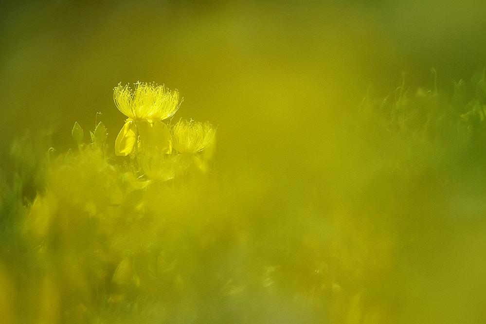 Photograph St. John's wort  by dongfeng wu  on 500px