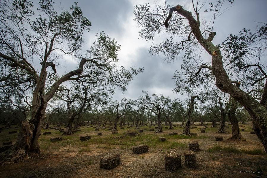 Olives forest