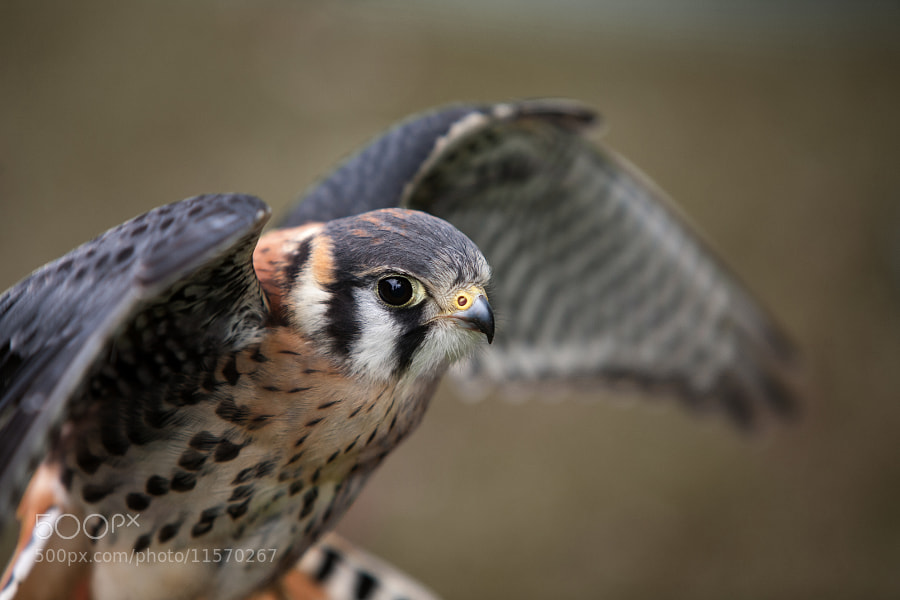 Photograph American Kestrel by Dave Milnes on 500px
