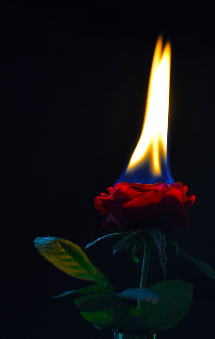 Photograph rose in the flames by Jozsef Balogh on 500px