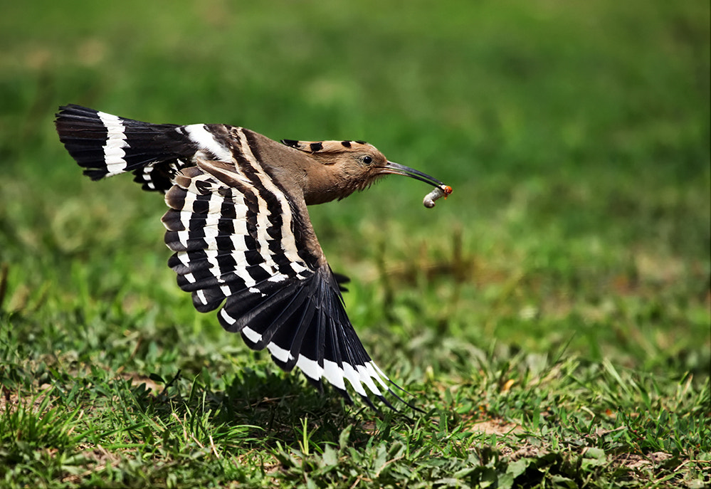 Photograph Eurasian Hoopoe  by dongfeng wu  on 500px
