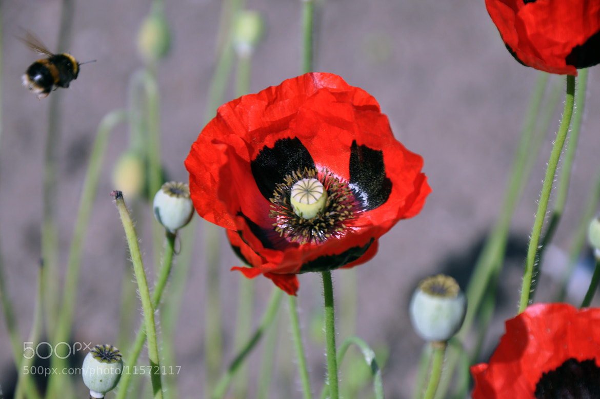 Photograph Poppy  by Shaun Fernandes on 500px