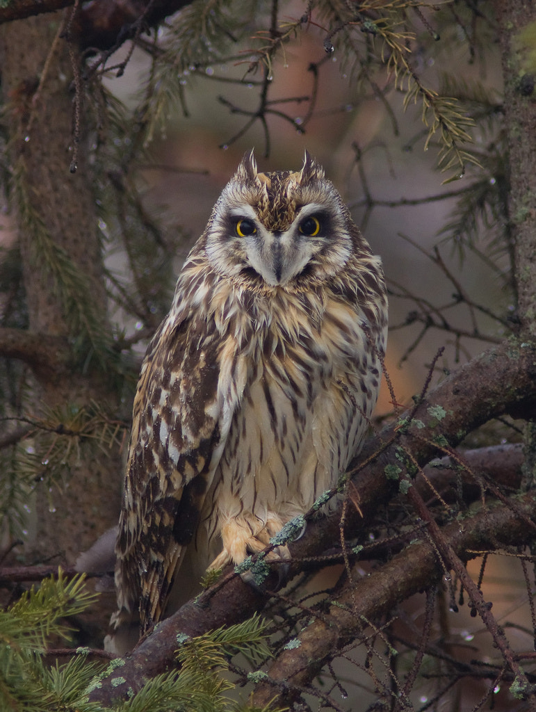 Photograph Short-Eared Owl by Phil Armishaw on 500px