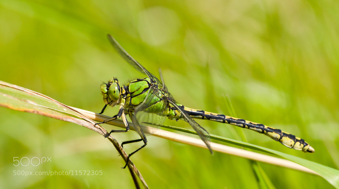 Photograph Ophiogomphus cecilia by Jan Lyngby on 500px