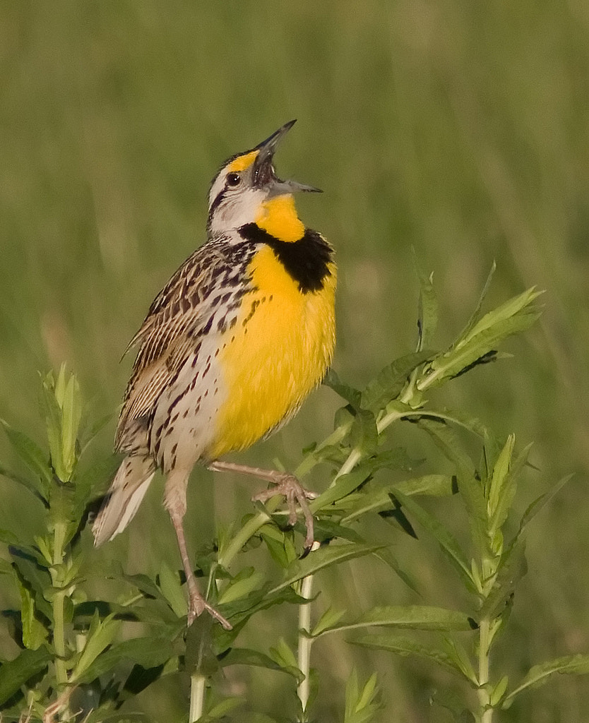 Photograph Eastern Meadowlark by Phil Armishaw on 500px
