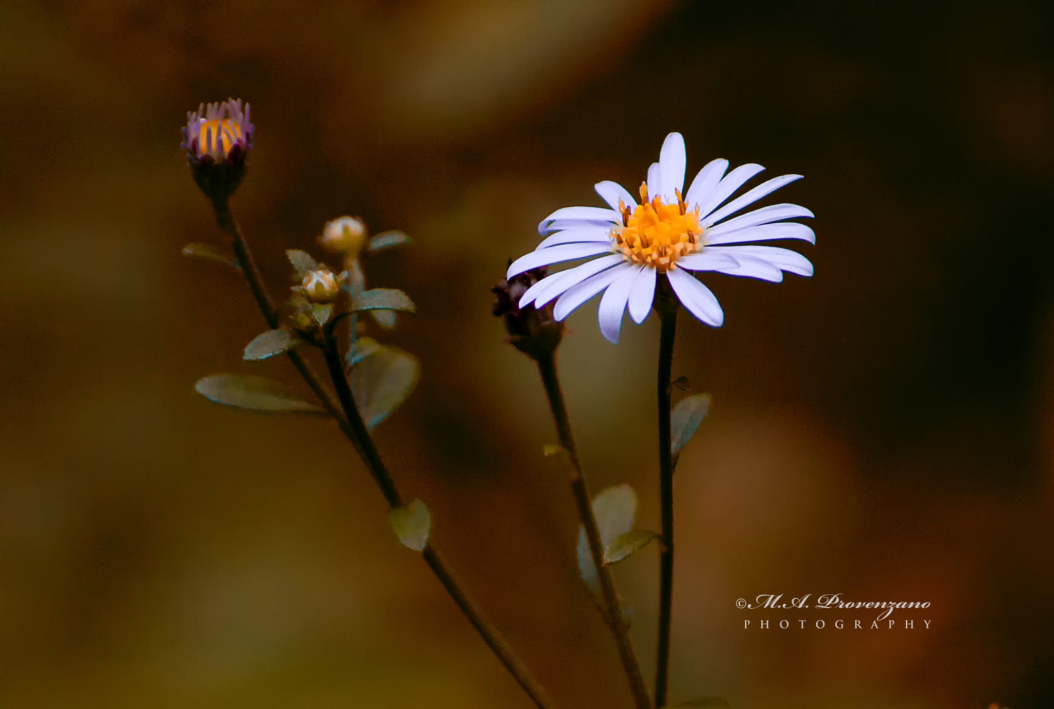 Photograph Daisy by Michael Provenzano on 500px